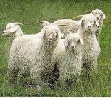 アンゴラ山羊写真